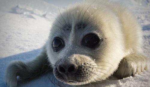 Свойства и применение меха тюленя